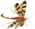 scorpionfly_lauren