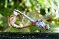 dragonflies matingR